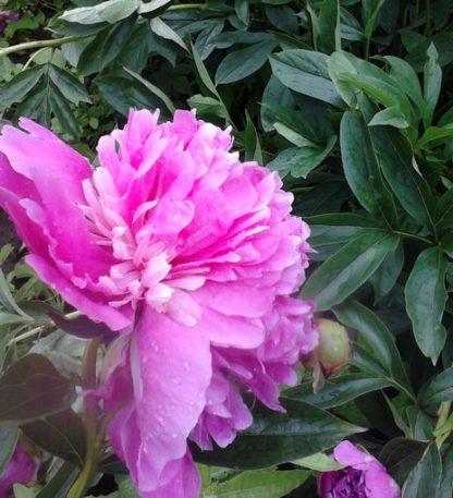 пион розовый саженец