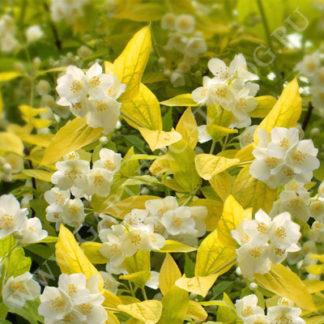 Жасмин садовый чубушник венечный Ауреус