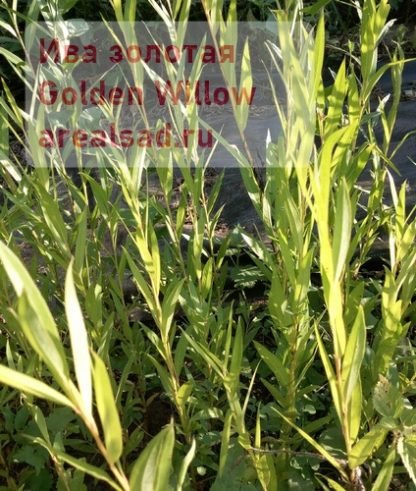 золотая ива Golden Willow arealsad.ru