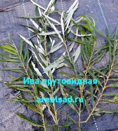 ива-прутовидная-корзиночная-arealsad.ru